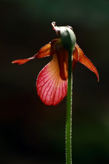 Lady Slipper 2012 by Debbie  Roberts