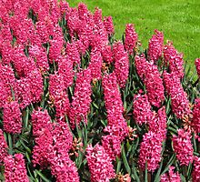 Sea of Pinks - Keukenhof Hyacinths by BlueMoonRose