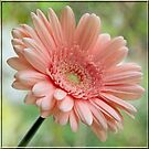 The Gerbera by Brenda Boisvert