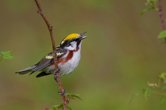 Male Chestnut-Sided Warbler by Stephen Stephen
