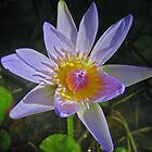 Water Lily by frownland