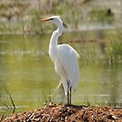 Great Egret by hummingbirds