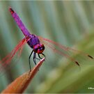 THE VIOLET DROPWING DRAGON FLY- Trithemis annulata by Magaret Meintjes