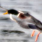 Duck Landing on Ice by JohnYoung