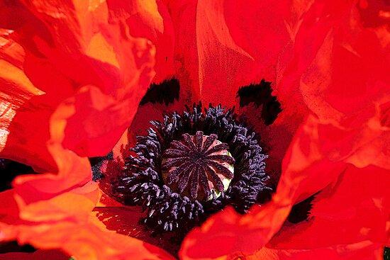 Poppy Blast by Martin Smart