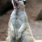 "Meerkat:  ""Is it nap-time yet?"" by Paula Tohline  Calhoun"