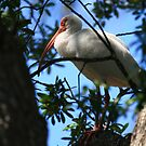 """""""  White Ibis  """" by fortner"""