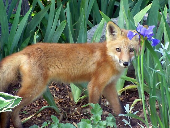 Fox Kit by Leeanne Middleton