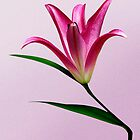 Pink Lilly by DavidCG