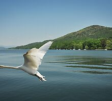Swan Lake Windermere by brianhardy247