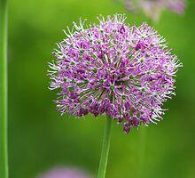 Allium by Aviana