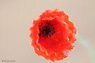 Wild poppy just starting to open by Photos - Pauline Wherrell