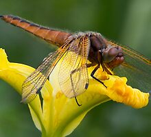 Immature Female Scarce Chaser by Neil Bygrave (NATURELENS)