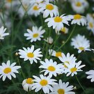 White Daisy by Rainy