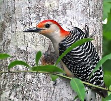 Red Bellied Woodpecker - I'm So Darned Handsome by Kathy Baccari