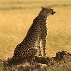 Cheetah in Serengeti National Park by Michal Cerny
