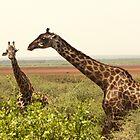 Maasai Giraffe, Manyara National Park by Michal Cerny