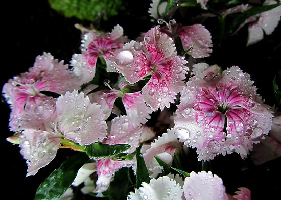 Raindrops in PINK & WHITE  by Vanessa  Hayat