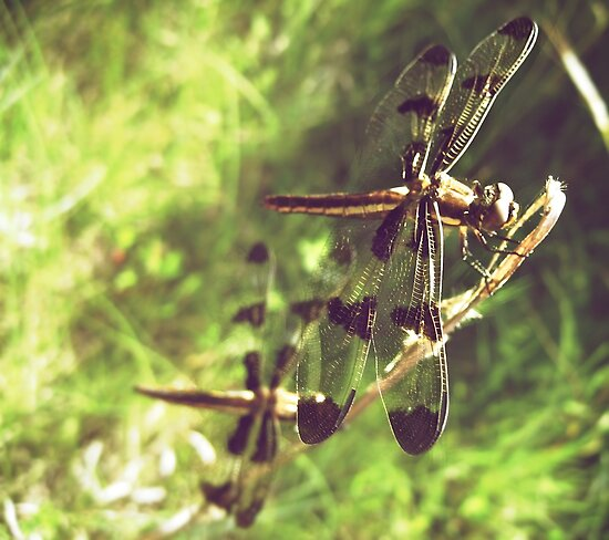 Two Dragonflies by lindsycarranza