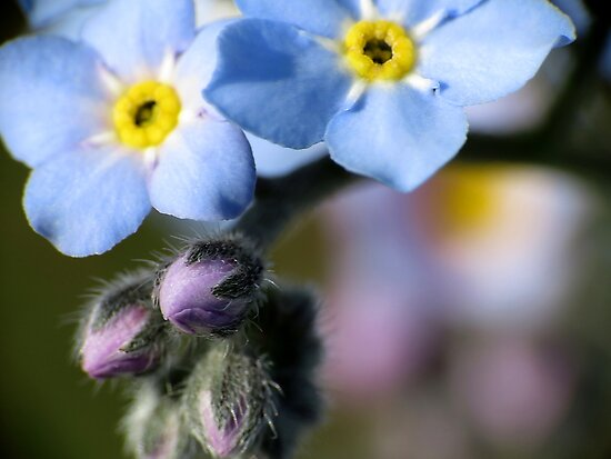 Forget-Me-Nots 6 by photonista