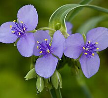 Spiderwort by Adam Bykowski