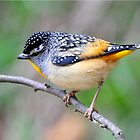 Spotted Pardalote taken Mt Buller in Victoria by Alwyn Simple