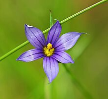 Blue-eyed Grass by Vickie Emms