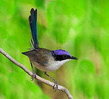 Purple Crowned Fairy Wren taken at Gregory River in NQ by Alwyn Simple