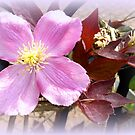 Pink Clematis by ©The Creative  Minds