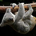 Koala by Daniel Mulcahy