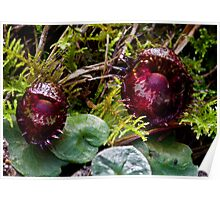 Corybas fimbriatus Fringed Helmut-orchid Poster