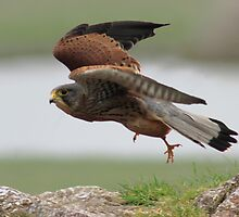 Kestral in flight by Mark Bunning