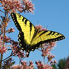 Swallowtail at Lunch by Lynn Gedeon