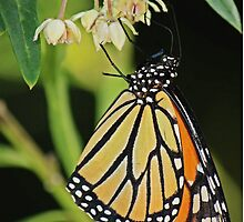 Monarch butterfly by bluetaipan