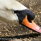 Mute Swan Eating by HRHPhotography