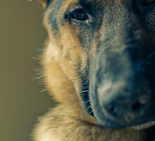 German Shepherd Dog by mlhasyn