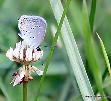 Eastern Tailed Blue, Spring 2011 by Paula Tohline  Calhoun
