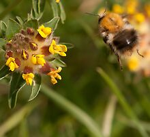 Common Carder Bee in flight by Jon Lees