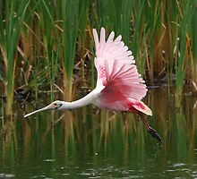 Roseate Spoonbill by Eaglelady