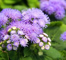 blue ageratum by Linda  Makiej Photography