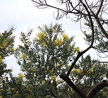 Wattle, Royal Botanic Gardens near AGNSW by Debra Hannan