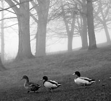 Three Ducks in the Morning Mist, Northamptonshire, England by KUJO-Photo