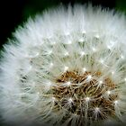 A white puffy dandylion is the kind you will need.  by lorainek