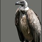 African White-backed Vulture by alan tunnicliffe