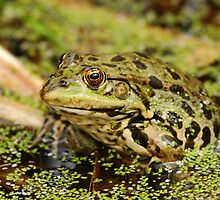 Marsh Frog by CBoyle