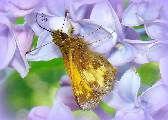 Wings in the Lilacs by PatChristensen
