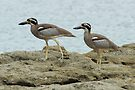 Beach Stone-curlew_Cardwell NQ by Alwyn Simple