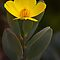 Bush poppy- Santa Cruz arboretum by David Chesluk