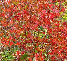 Cranberry bush by Jim Sauchyn