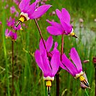 Dark-throat Shooting Star - Dodecatheon pulchellum by Digitalbcon